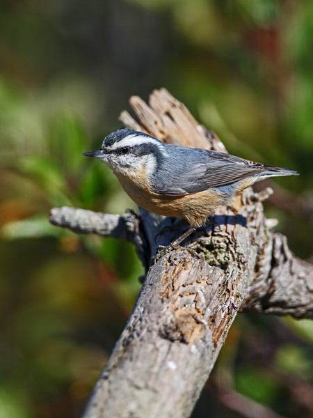 nuthatch red-breasted on branch