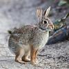 rabbit on Old Colony Way