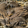 Four baby sparrows in a nest