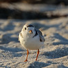 facing a piping plover