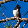 towhee singing on a pine branch