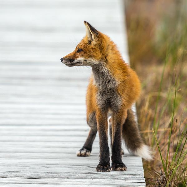 Fox in sox 1