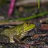 glistening green frog
