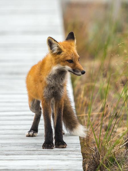 Fox in sox 2