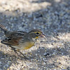 dickcissel on the ground