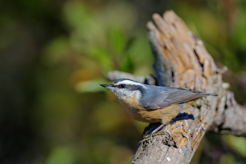 red-breasted nuthatch leaning linearly