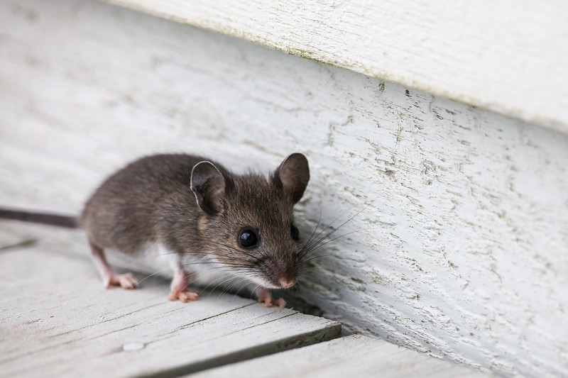 mouse on deck