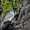 tufted titmouse on branch outside house