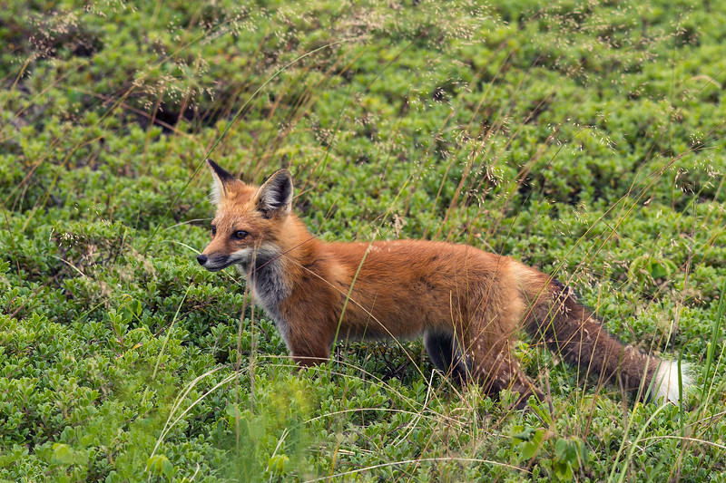 fox in the ground cover