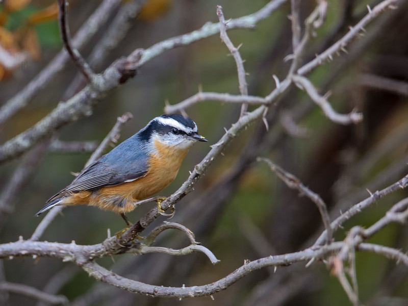 red-breasted nuthatch clinging to thorny branch