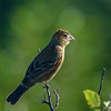 to be identified finch 1