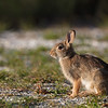 rabbit in warm light on driveway