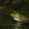frog sitting in Great Pond Truro