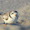 piping plover very close up