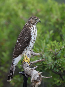 Cooper's Hawk on perch
