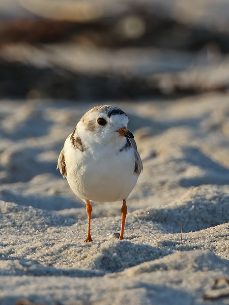 cute piping plover