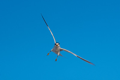 attacking least tern over Corn Hill Beach