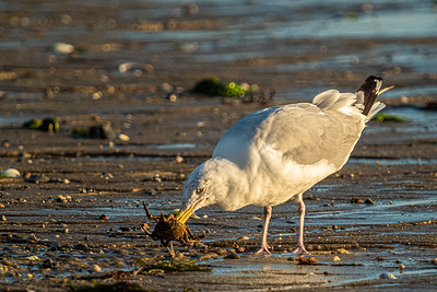 crab impaled by gull