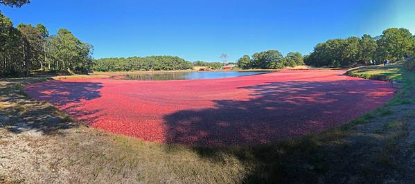 cranberry harvest Dennis
