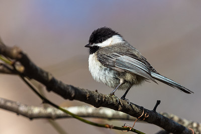 chickadee Beech Forest