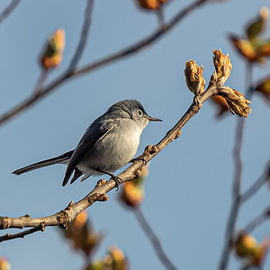 blue-gray gnatcatcher Beech Forest