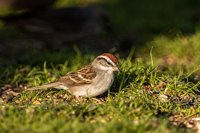 chipping sparrow Beech Forest