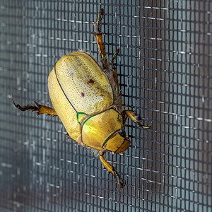 Cotalpa lanipera goldsmith beetle on screen