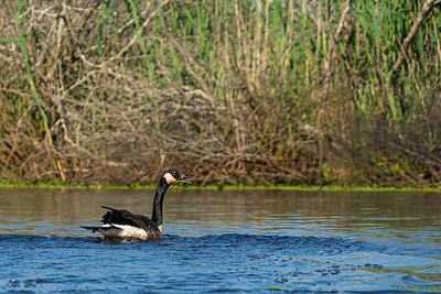 Canada Goose squawking in Upper Pamet River