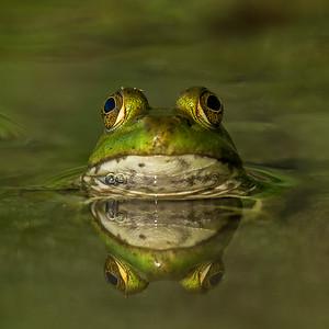 frog eyeballs