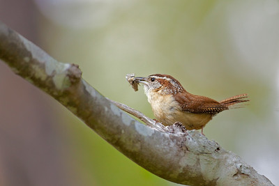 Carolina wren with moth