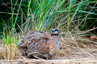 bobwhite female with chicks 2