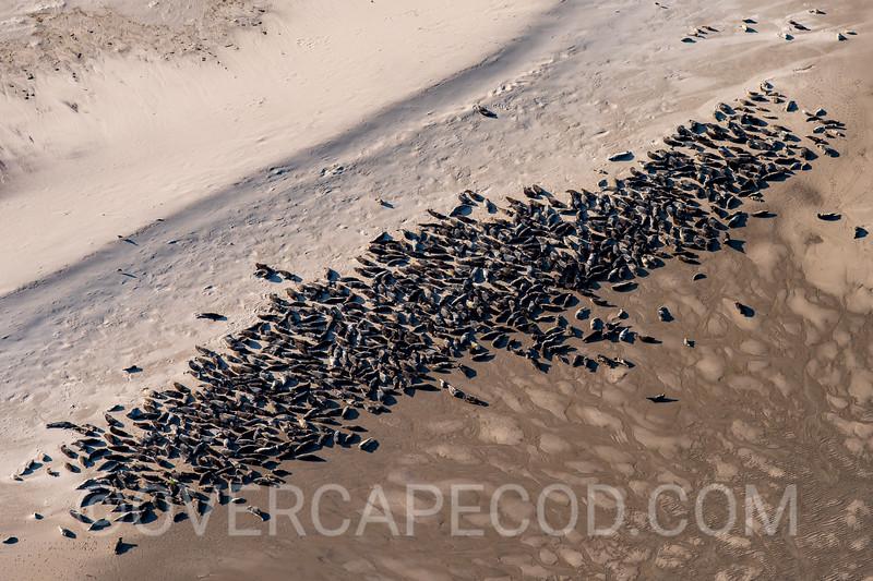 Monomoy Seals, Chatham (2)