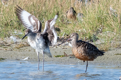 Eastern Willet and Hudsonian Godwit