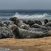 Gray Seals of Truro