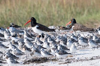 American Oystercatchers, Sanderlings, Common Terns, Ruddy Turnstones