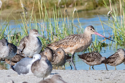 Marbled Godwit, Laughing Gull, Eastern Willets, Short-billed Dowitchers