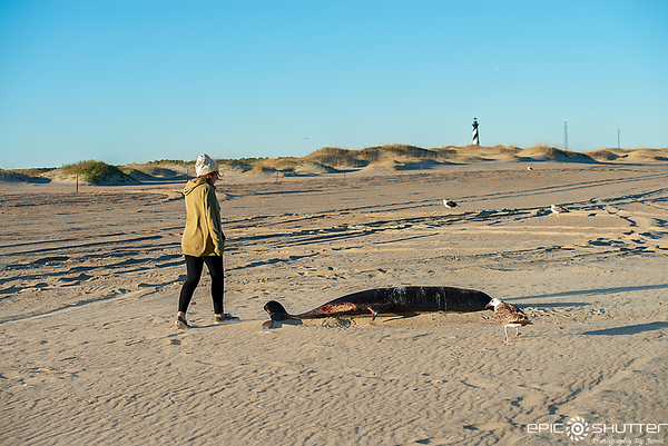January 5, 2019 Cape Hatteras Lighthouse, Surfing, Dead Kogia Whale  (type of Pygmy Sperm Whale),  Ramp 43, Buxton, North Carolina, Aquatech Imaging Solutions, Waves, Swell, Cape Hatteras National Seashore Photographer, Epic Shutter Photography, Surfers,