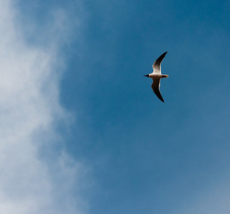 Bird in flight at Cape May, New Jersey.