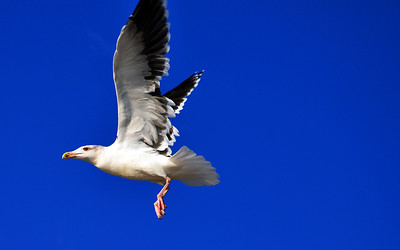 Seagull in flight at Cape May, New Jersey.