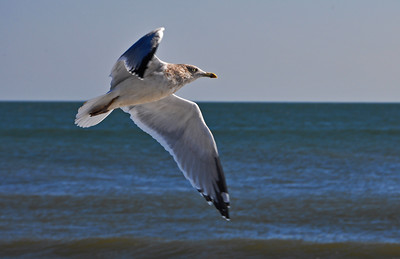 Seagull in flight, Cape May, New Jersey