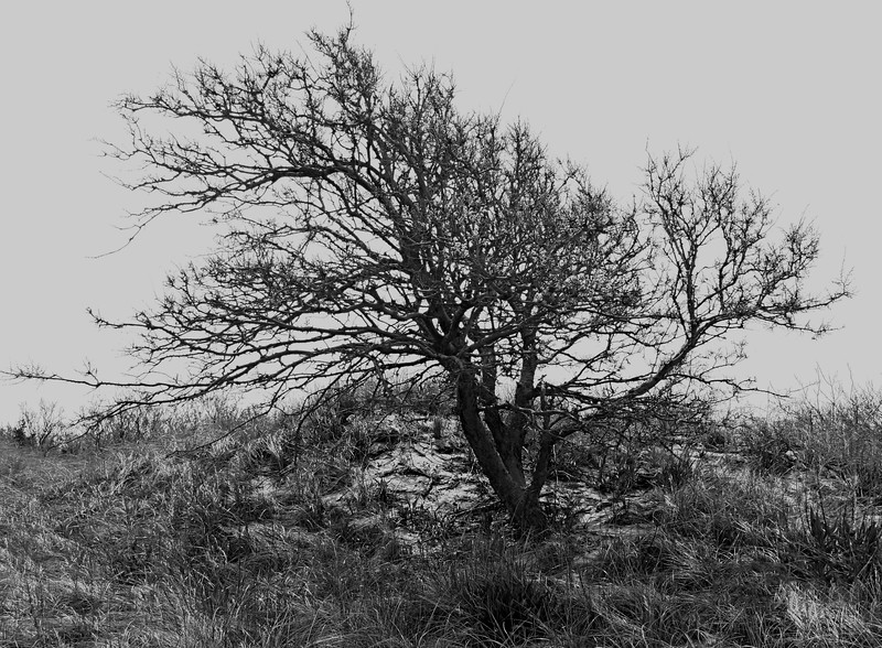 Higbee Tree in Black and White