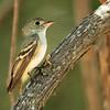 Acadian Flycatcher
