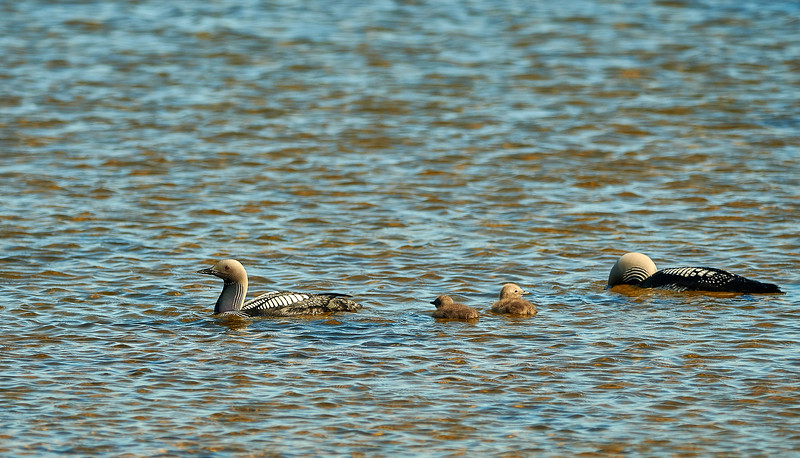 Pacific loon family