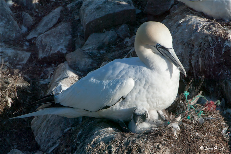 Northern Gannet with chick