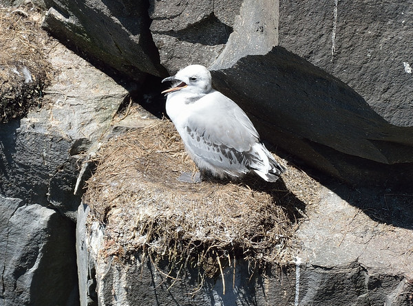 Black-Legged Kittiwake chick