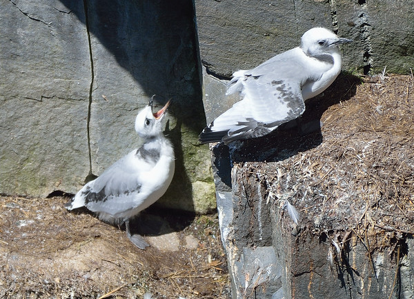 Black-Legged Kittiwake chicks.