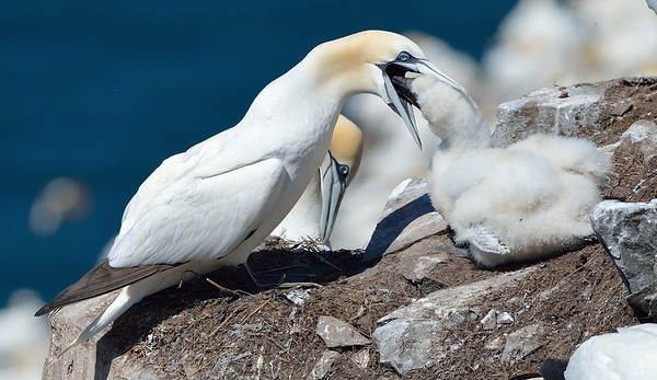Northern Gannet, feeding its chick.