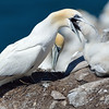 Northern Gannet, feeding its chick.