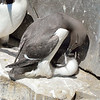 Common Murre and chick.