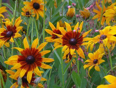 Black-eyed Susans near Long Beach, Gloucester